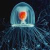 Бессмертная медуза