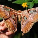 Бабочка «Павлиноглазка Атлас» – самая крупная бабочка в мире