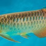Самая дорогая аквариумная рыбка