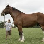Самый высокий конь в мире