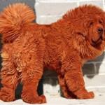 Самый дорогой пес в мире