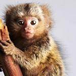 Самая маленькая в мире обезьянка