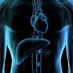 Самые большие органы человека: удивительное в нас!