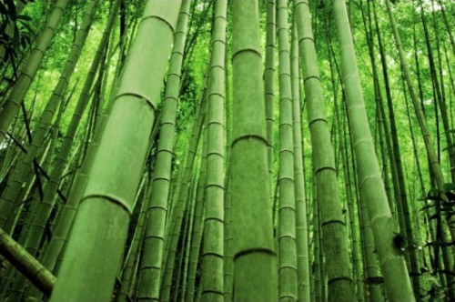 loshina_chernogo_bambuka_4