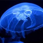 Опасные медузы Крыма