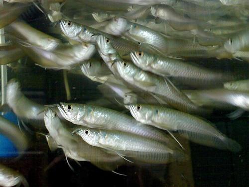 Самая дорогая аквариумная рыба