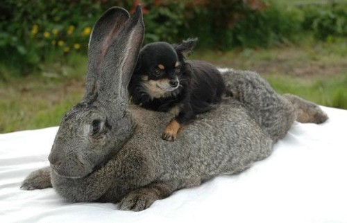 Самый большой кролик