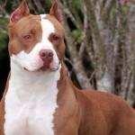 Самая опасная порода собак II