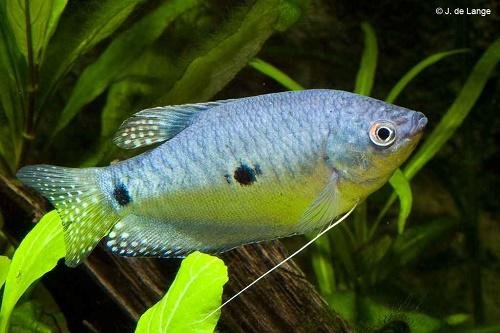 Самая неприхотливая рыбка