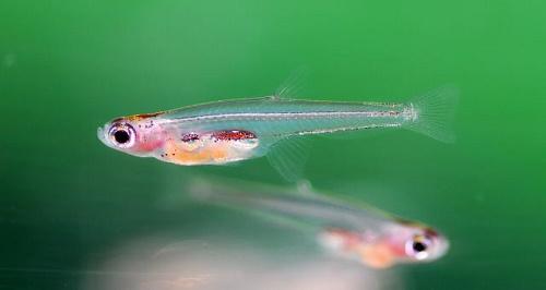 Самая маленькая рыба в мире