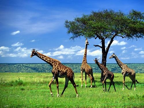 Самое высокое животное