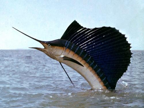 Самая быстрая рыба