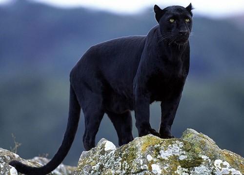 Самая крупная кошка